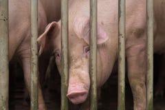 Schweinezuchtbetrieb Stockbilder