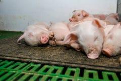 Schweinezuchtbetrieb Kleine Ferkel Schweinehaltung ist das Anheben und das Züchten von Hausschweinen stockfoto