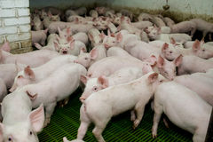 Schweinezuchtbetrieb Kleine Ferkel Schweinehaltung ist das Anheben und das Züchten von Hausschweinen stockfotos