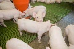 Schweinezuchtbetrieb Kleine Ferkel Schweinehaltung ist das Anheben und das Züchten von Hausschweinen stockbilder