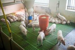 Schweinezuchtbetrieb Kleine Ferkel Schweinehaltung ist das Anheben und das Züchten von Hausschweinen lizenzfreie stockbilder