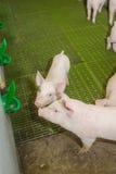 Schweinezuchtbetrieb Kleine Ferkel Schweinehaltung ist das Anheben und das Züchten von Hausschweinen stockfotografie