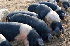 Schweinfütterung Stockbild