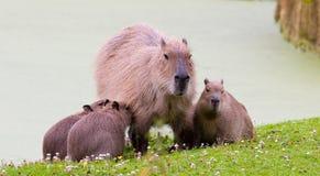 Schweinfamilie Lizenzfreie Stockfotografie