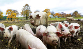 Schweinfamilie Lizenzfreie Stockfotos