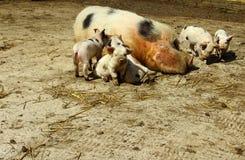 Schweinfamilie Stockbild