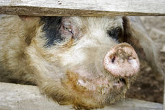 Schweingesicht Stockfotografie