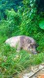 Schweingrabung im Gras Stockbild