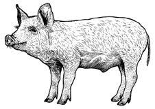 Schweinillustration, Zeichnung, Stich, Linie Kunst, realistisch Lizenzfreies Stockfoto