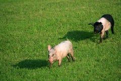 Schweinjunge Lizenzfreie Stockfotografie