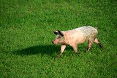 Schweinjunges lizenzfreies stockfoto