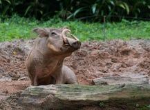 Schweinmann mit den großen Stoßzähnen sitzt in einer Pfütze und untersucht den Kamera Singapur-Zoo Lizenzfreie Stockbilder