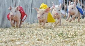Schweinrennen Stockbild