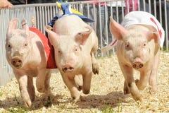Schweinrennen Stockfotos