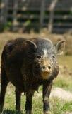 Schweinsau wenig Schwarzes Stockbild
