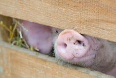 Schweinschnauze Lizenzfreie Stockfotos