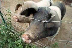 Schweinschnauze und -zaun stockfoto