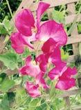 Schweisserbsenblumen - Rosa Lizenzfreie Stockfotos