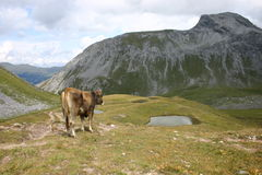 Schweiz, bei Arosa. Eine Kuh in den Bergen, Cow in the mountains Stock Photo