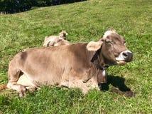 Schweizarebrunt mjölkar kor i en beta på det Pfaender berget arkivbild
