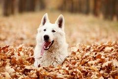 Schweizareherde Dog royaltyfria foton