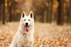 Schweizareherde Dog royaltyfri fotografi