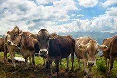 Schweizer Kühe Lizenzfreies Stockfoto