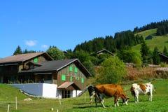 Schweizer Kühe an der Landseite lizenzfreies stockbild