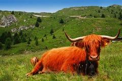 Schweizer Kuh Stockbilder