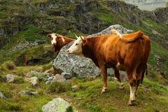 Schweizer Kuh Lizenzfreie Stockfotos