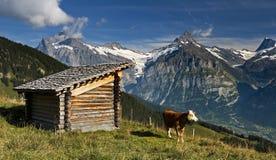 Schweizer Kuh mit großen Hügeln im Hintergrund Lizenzfreie Stockbilder
