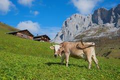 Schweizer Melker in der alpinen Landschaft Lizenzfreies Stockbild