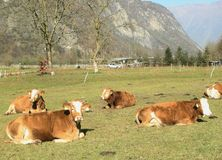 Schweizer schüchtert organische Molkerei ein   Stockbild