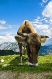 Schweizer Vieh in den Alpen Stockfotografie