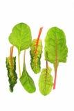 Schweizisk chard (Beta vulgaris) Royaltyfria Bilder