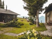 _ schweizisk fjälläng i sommar, en gammal farmers' skjul med hjälpmedel royaltyfria bilder
