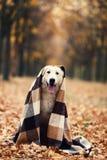 Schweizisk herdehund med plädet royaltyfri bild