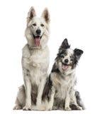 Schweizisk herdehund och border collie royaltyfria bilder