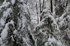 Schweizisk skog som täckas i snö Royaltyfri Bild