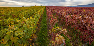 Schweizisk vingård III arkivbilder