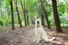 schweizisk white för hundherde Arkivfoton
