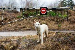 schweizisk white för hundherde Arkivbilder