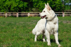 schweizisk white för hundherde Arkivbild