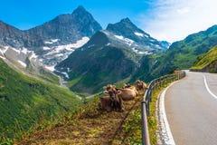 Schweiziskt alpint mjölkar kor Royaltyfri Fotografi