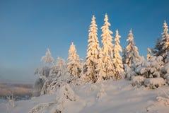 Schwer snowcapped Bäume im Sonnenuntergang Stockbild