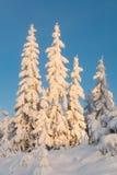 Schwer snowcapped Bäume im Sonnenuntergang (vert) Stockfotos