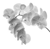 Schwere blühende Niederlassung mit großen Orchideenblumen Lizenzfreies Stockbild
