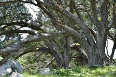 Schwere Stämme von pohutukawa Bäumen lizenzfreie stockfotos