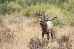 Schwere stark beanspruchte Stier-Elche in der Furche Stockbild