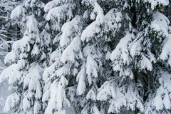Schwere Tannenbaumaste voll des Schnees Lizenzfreies Stockfoto